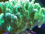 Photo Birdsnest Coral, green