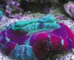 Photo Open Brain Coral, motley