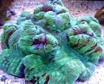 Photo Brain Dome Coral, green