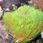 Photo Briareum, green hydroid