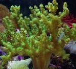 Photo Sinularia Finger Leather Coral, green