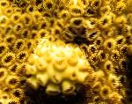 Photo White Encrusting Zoanthid (Caribbean Sea Mat), yellow polyp