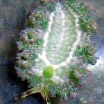 Photo Lettuce Sea Slug, grey