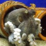 Common Octopuses