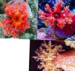 Photo Color Sea Apple, red cucumbers