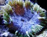 Photo Rock Flower Anemone, blue