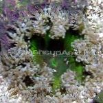 Photo Rock Flower Anemone, grey
