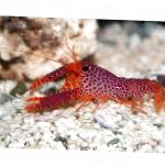 Debelius Reef Lobster
