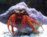 Photo Scarlet Hermit Crab, red lobsters