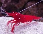 Fire Shrimp, Blood Shrimp, Cardinal Cleaner Shrimp, Scarlet Cleaner Shrimp