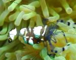 Photo Pacific Clown Anemone Shrimp, brown