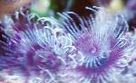 Photo Bispira Sp., purple fan worms