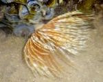 Feather Duster Worm (Indian Tubeworm)