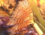 Photo Wreathytuft Tubeworm, yellow