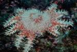 Photo Crown Of Thorns, spotted sea stars