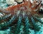 Photo Crown Of Thorns, light blue sea stars