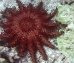 Photo Crown Of Thorns, red sea stars