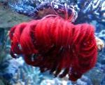 Photo Crinoid, Feather Star, red comanthina
