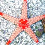 Photo Red Starfish, brown