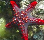 Photo Red Knob Sea Star (Red Spine Star, Crimson Knob Star Fish), green