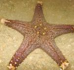 Photo Choc Chip (Knob) Sea Star, light blue