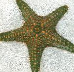 Photo Choc Chip (Knob) Sea Star, grey
