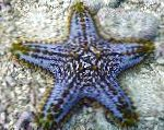 Photo Choc Chip (Knob) Sea Star, transparent