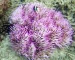 Photo Beaded Sea Anemone (Ordinari Anemone), spotted